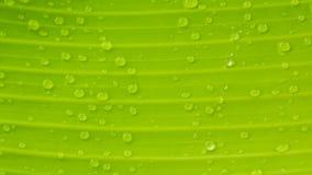 Textura de la hoja del plátano con descensos del agua Imagen de archivo libre de regalías