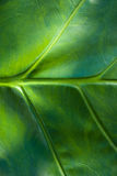 textura de la hoja del taro Imagen de archivo libre de regalías
