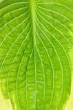 Textura de la hoja fresca del hosta fotos de archivo
