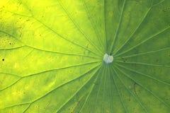 Textura de la hoja de Lotus fotos de archivo libres de regalías