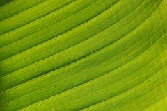 Textura de la hoja de la planta de Monocot Fotos de archivo