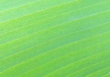 Textura de la hoja verde del plátano Foto de archivo libre de regalías