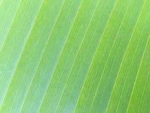 Textura de la hoja verde del plátano Fotografía de archivo libre de regalías