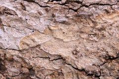 Textura de la madera de la corteza Foto de archivo libre de regalías