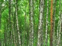 Textura de la madera de abedul Imágenes de archivo libres de regalías