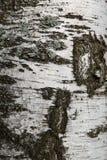 Textura de la obscuridad del abedul Fotografía de archivo