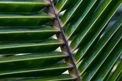 Textura de la palma Fotos de archivo libres de regalías