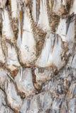 Textura de la palmera. Fotos de archivo libres de regalías