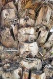Textura de la palmera Fotografía de archivo libre de regalías