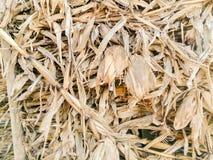 Textura de la pared amarilla seca del campo de maíz imagen de archivo libre de regalías