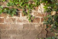 Textura de la pared de ladrillo cubierta con la enredadera verde de la hiedra Foto de archivo libre de regalías