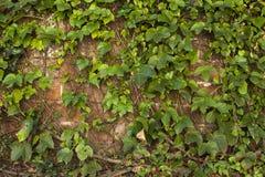 Textura de la pared de ladrillo cubierta con la enredadera verde de la hiedra Foto de archivo