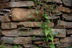 Textura de la pared de piedra con las plantas verdes de la vid Fotos de archivo libres de regalías