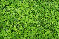 Textura de la pared de las plantas verdes imagen de archivo libre de regalías