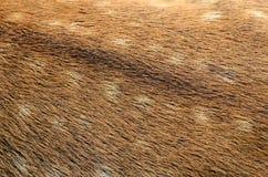 Textura de la piel de los ciervos Fotografía de archivo libre de regalías