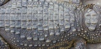 Textura de la piel del cocodrilo Imagen de archivo libre de regalías