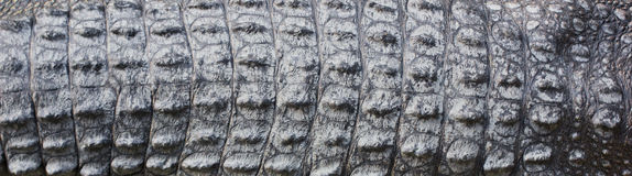 Textura de la piel del cocodrilo Foto de archivo libre de regalías