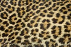 Textura de la piel del leopardo Fotografía de archivo libre de regalías