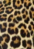 Textura de la piel del leopardo (verdadera) Foto de archivo
