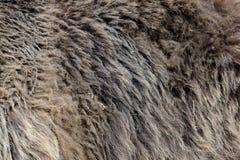 Textura de la piel del oso marrón Fotos de archivo