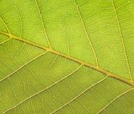 Textura de la planta Fotos de archivo libres de regalías