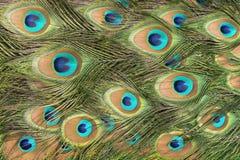 Textura de la pluma del pavo real Foto de archivo libre de regalías