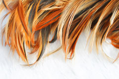 Textura de la pluma del pollo Imagen de archivo