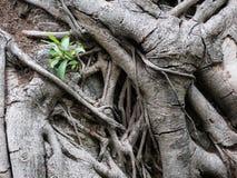 Textura de la raíz Fotos de archivo