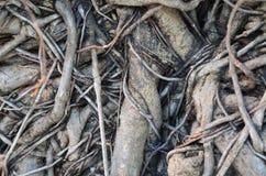 Textura de la raíz del árbol Foto de archivo libre de regalías
