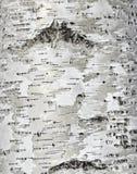 textura de la superficie de la corteza de abedul Foto de archivo