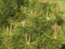 Textura de las agujas del pino Fotos de archivo