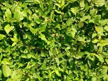 Textura de las hojas Fotografía de archivo libre de regalías