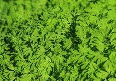 Textura de las hojas Foto de archivo libre de regalías