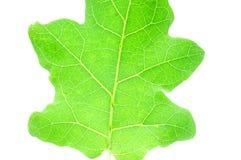 Textura de las hojas de la berenjena Fotos de archivo libres de regalías