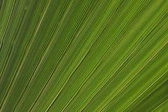 Textura de las hojas de la palmera Imagen de archivo libre de regalías