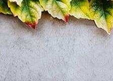 Textura de las hojas del muro de cemento y de la hiedra Fotos de archivo