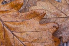Textura de las hojas del roble, concepto del otoño Imágenes de archivo libres de regalías