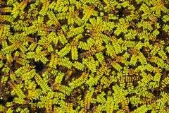 Textura de las hojas del verde en pantano Fotos de archivo libres de regalías