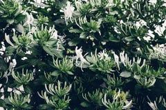 Textura de las hojas del verde Naturaleza del primer decorativa Fotografía de archivo libre de regalías