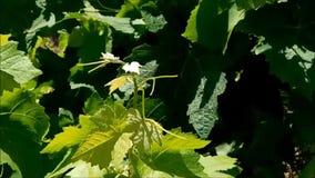 Textura de las hojas de la vid de uva al aire libre almacen de video