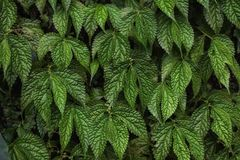 Textura de las hojas verdes de la uva fotografía de archivo libre de regalías