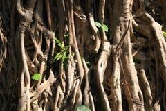 Textura de las raíces del árbol Foto de archivo