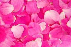 Textura de los pétalos de Rose Foto de archivo libre de regalías