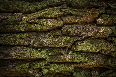 Textura de madeira A casca de uma árvore velha coberta com o musgo Imagens de Stock Royalty Free