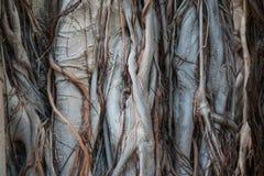 Textura de madeira da casca Imagem de Stock Royalty Free