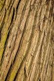Textura de madeira da casca da árvore Fotos de Stock