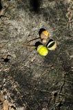 Textura de madeira do tronco de árvore cortado e das duas bolotas Fotos de Stock Royalty Free