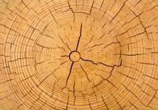 Textura de madeira do tronco de árvore cutted Fotos de Stock Royalty Free