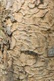 Textura de madeira dura da casca Imagem de Stock