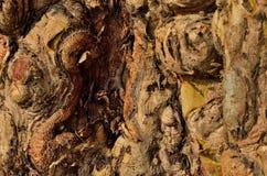 Textura de madeira Gnarly Imagem de Stock